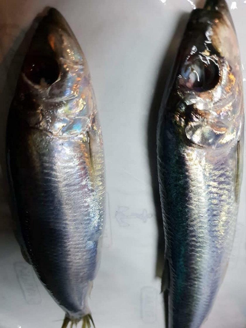Rybacy z Zatoki Puckiej przerażeni. Łowimy ryby mutanty!