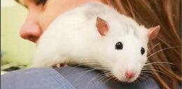 Porzucony szczurek szuka nowego domu!
