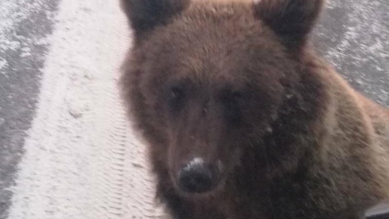 Niedźwiedź widywany w okolicy Polany