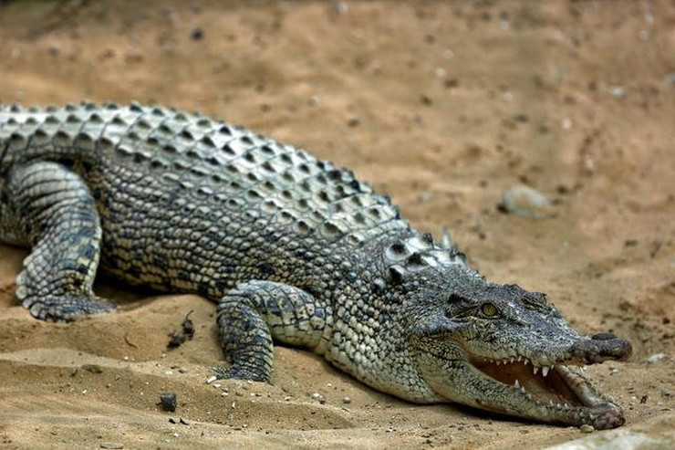 472951_krokodil-ap