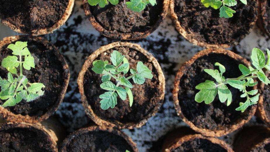 Pomidory to popularne warzywa chętnie uprawiane w ogrodzie - vaivirga/stock.adobe.com
