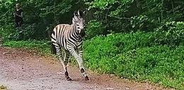 Zebra Buka uciekła sprzed ołtarza