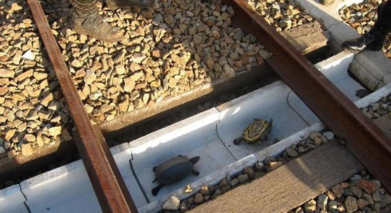 Turtle tunnels built to help tiny animals cross railways safely