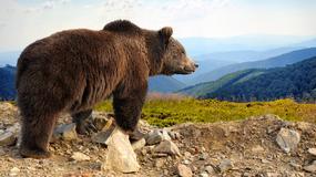 Niedźwiedzie w Bieszczadach obudziły się z zimowego snu