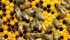 Za podsticanje pčelarstva 230 miliona dinara