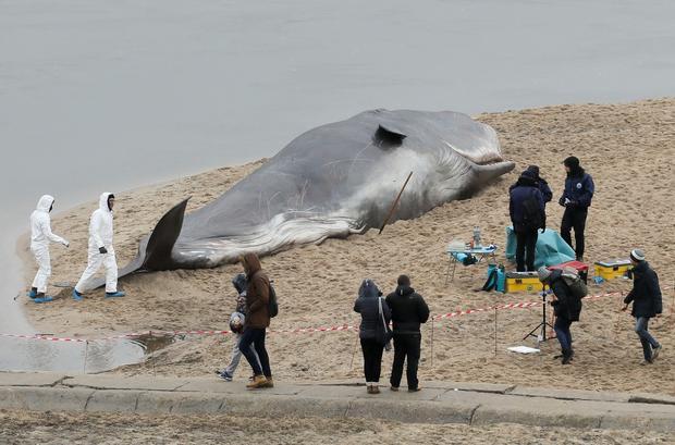 Wieloryb nad Wisłą w Warszawie