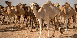 W Australii szykują rzeź! 10 tys. wielbłądów do odstrzału