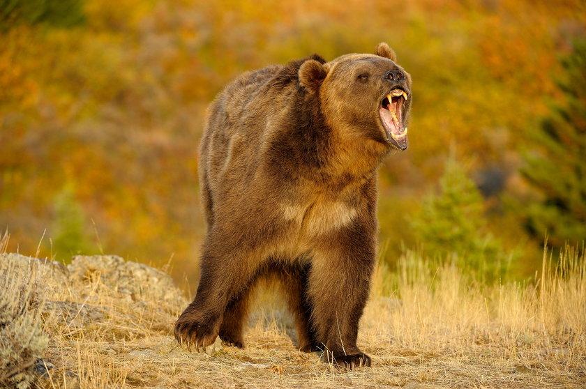 Niedźwiedź zabił pana Stanisława
