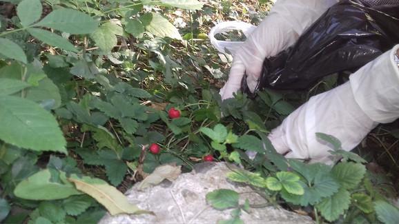 Šumske jagode bile su okružene smećem
