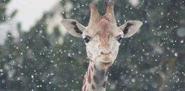 Żyrafy w śniegu. FOTO