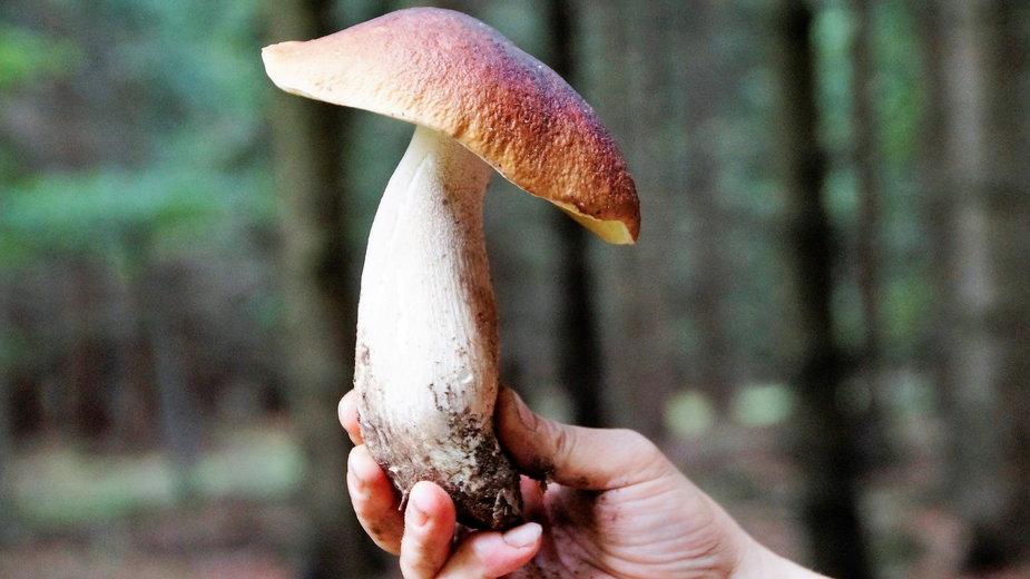 Wykręcać czy ścinać grzyby?