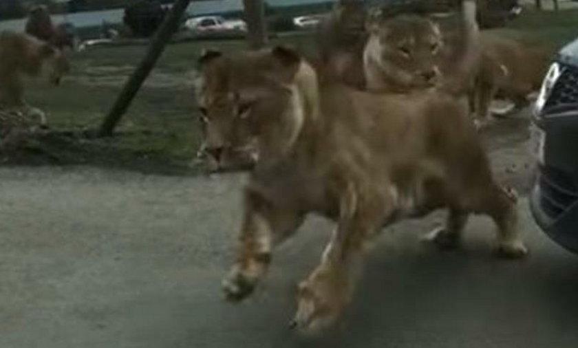 Lwy zaatakowały ludzi w zoo