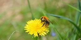 Pszczoły leczą raka