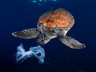 Green sea turtle trying to eat a plastic bag,It seems a jellyfish. Shot made between 3 and 4 metres
