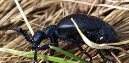 Lasy Państwowe ostrzegają. Uważajcie na tego owada!