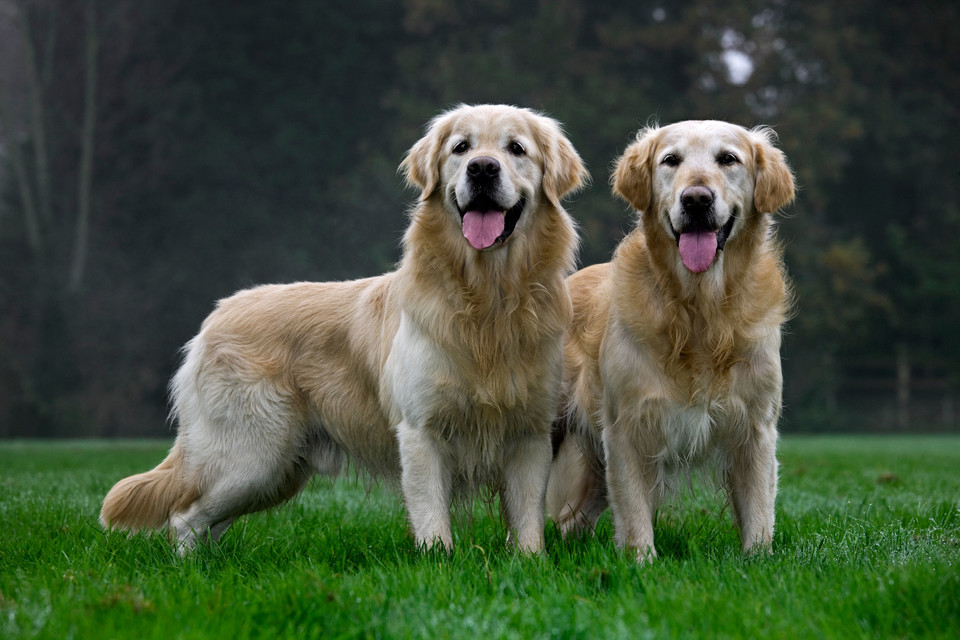 Miejsce 4: Golden retriever