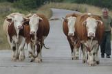 UŽICE-ZLATIBOR krave foto v lojanica