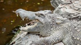 W rejonie Rzymu trwają poszukiwania krokodyla