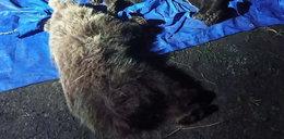 W Tatrach zastrzelono dwa niedźwiedzie. Internauci oburzeni