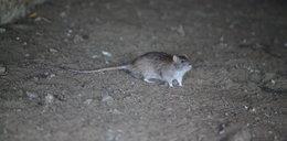 Plaga szczurów w stolicy