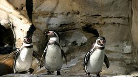 Pingwiny uciekły z duńskiego zoo