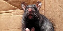 W Słupsku szczur zaatakował 2,5-letnią dziewczynkę