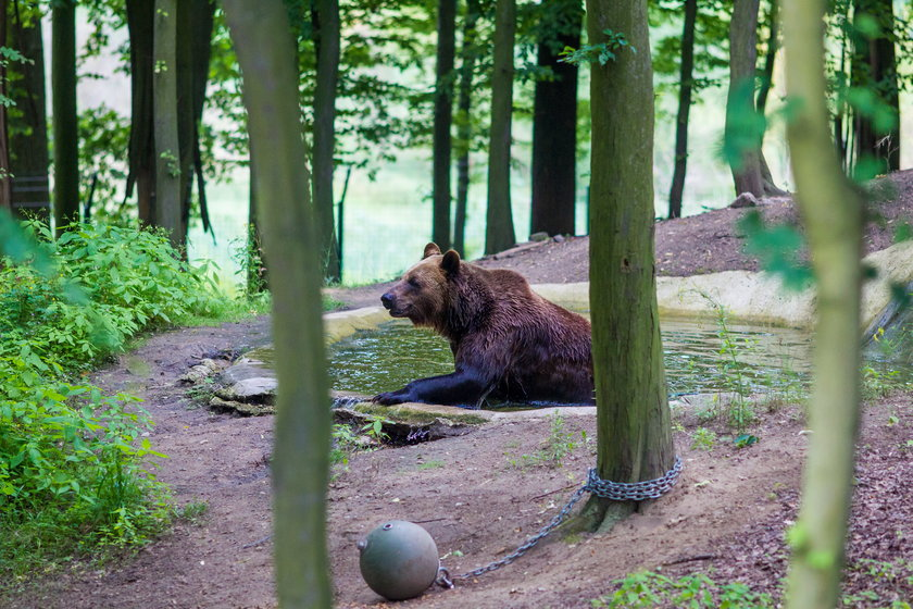Cztery niedźwiedzie z ogrodu zoologicznego w Braniewie trafią do Poznania.