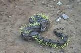 zmija bodlje