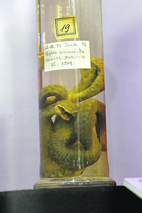 Inače, otrov zmije palmine vipere koristi se u kremama protiv bora