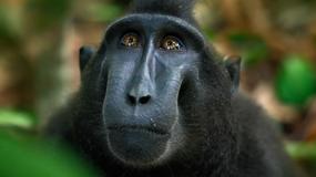 Wyrok sądu w sprawie słynnego selfie zrobionego przez małpę