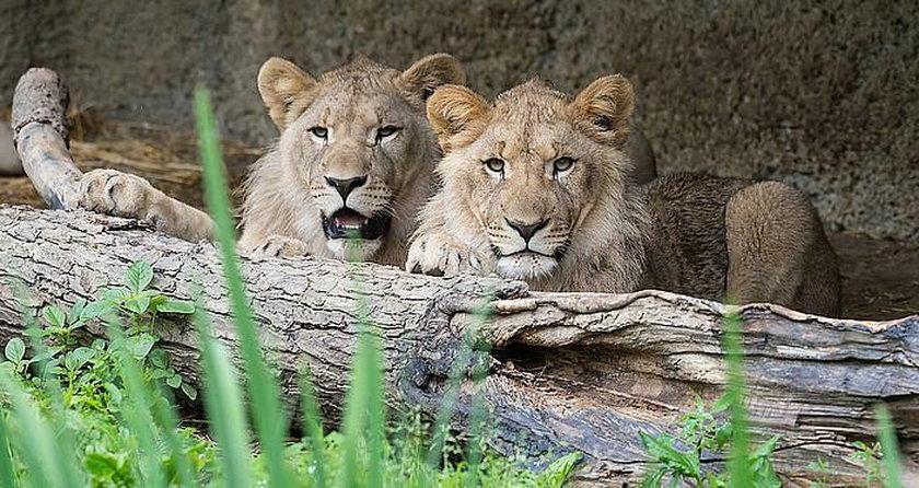 Lwy uciekły z wybiegu. Jedno zwierzę zastrzelono