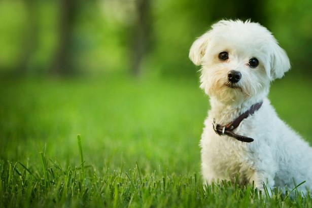 Z pytaniem wystąpił przedsiębiorca, który świadczy usługi fryzjerstwa dla małych psów.