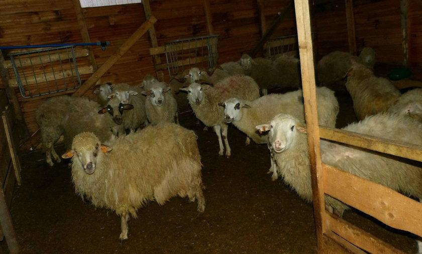 Owce w Szczyrku. 21 sztuk udało się uratować