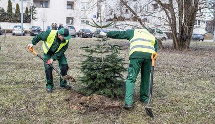 Posadzili świąteczne drzewka