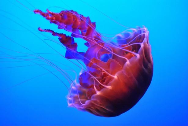 meduza, fot. alexskopje