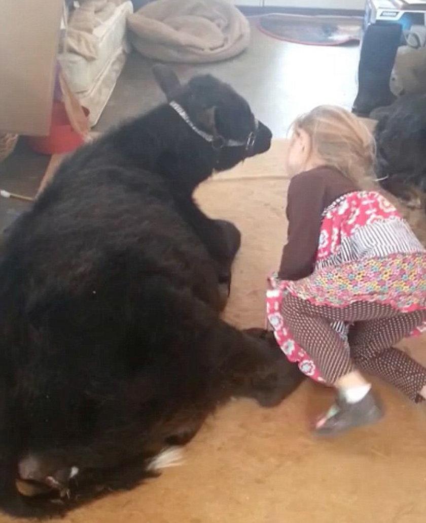 5-latka przyprowadziła do domu...krowę!