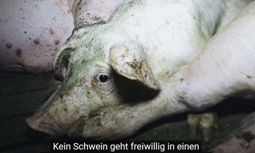 Świnie trzymana w strasznych warunkach przed śmiercią przeżywają niewyobrażalne cierpienie - to rzeczywistość zakładów mięsnych Toennies