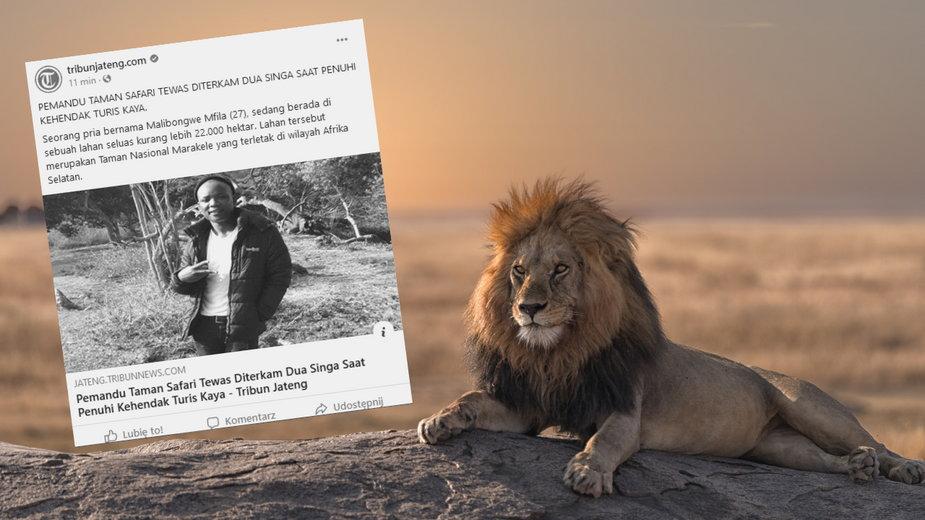 Lwy pożarły przewodnika po safari