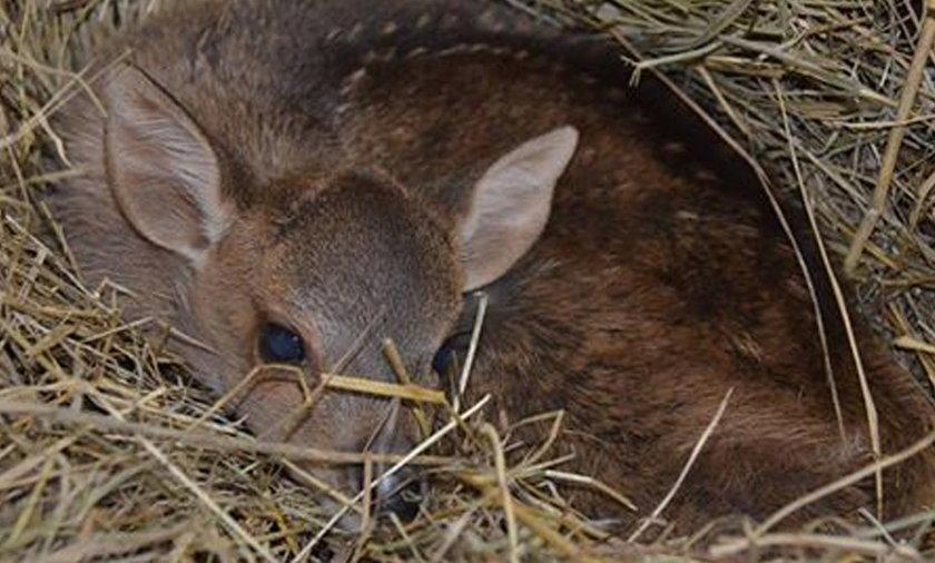 W poznańskim Zoo przyszedł na świat jelonek baweański