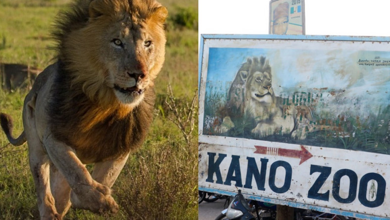 Image result for KANO ZOO LION RETURNS TO CAGE