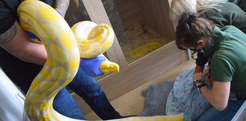 Ogromne i śmiertelnie niebezpieczne węże na poznańskim osiedlu