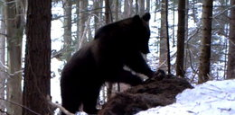 Ostatnia ofiara tej zimy? Niedźwiedź zjadł...