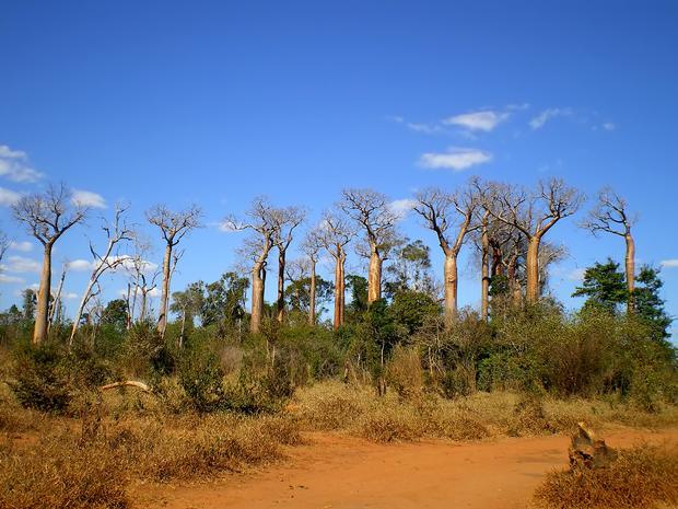 Baobaby na Madagaskarze