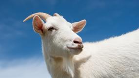 W miasteczku na Sycylii zamiast ogrodnika zatrudniono kozę