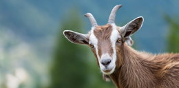 Owce i kozy wyjdą na ulice Rzymu. Nietypowy pomysł władz