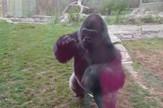 AP_gorila_razbija_staklo_SAD_vesti_blic_safe