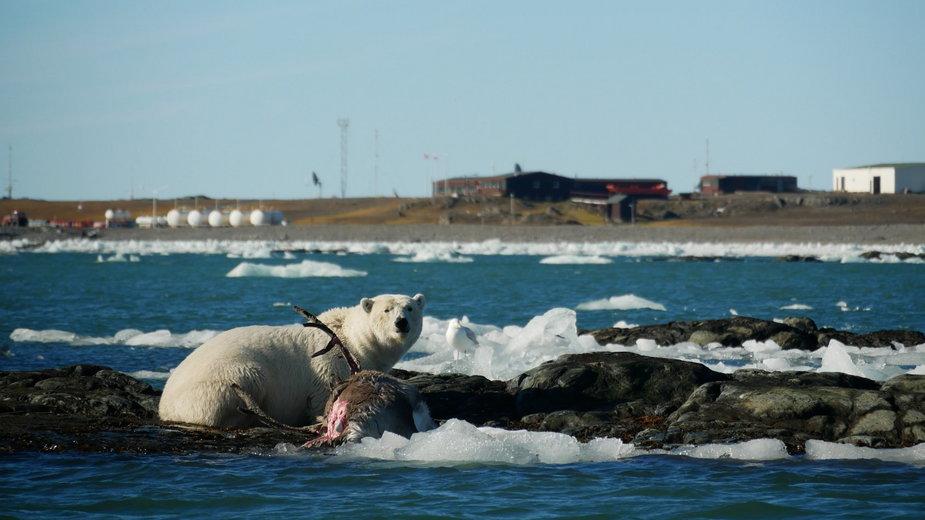 Wyjątkowe zdjęcia. Niedźwiedź polarny odwiedził polską stację badawczą