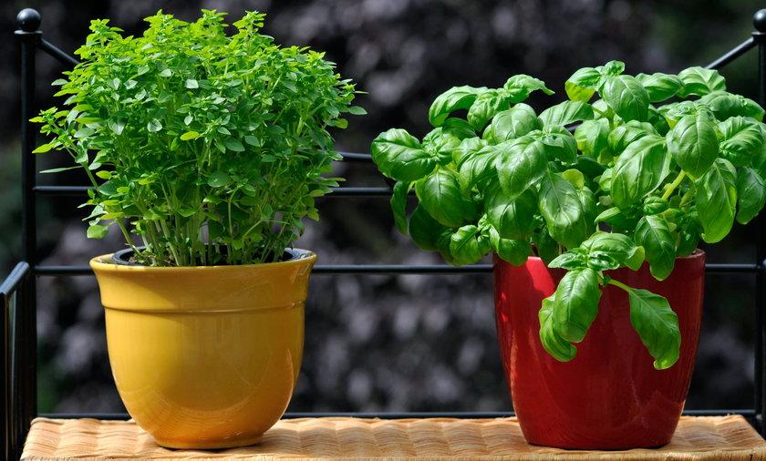 Jak uprawiać zioła w donicach?