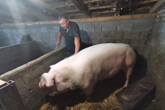 ŠARENA JE PRAVA ŠUMADIJSKA REKORDERKA Ova krmača teži preko neverovatnih 500 kilograma i oprasila je u cugu 28 prasića