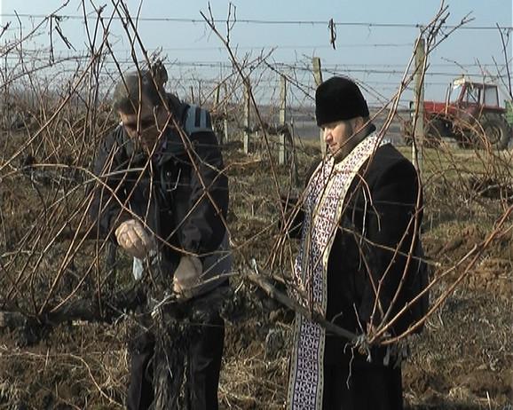 Orezivanje vinograda za rodnu godinu